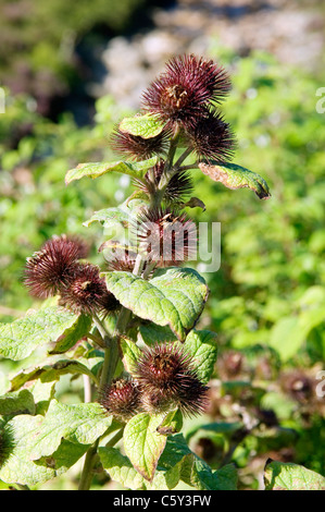 Lesser Burdock (Arctium minus). Wild flower plant at home in Scotlands more loamy valley soils. UK. Seed pods - Stock Photo