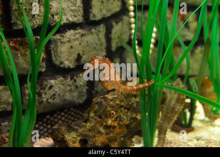 Close up of a Seahorse (Hippocampus heptagonus, captive), Munich DE