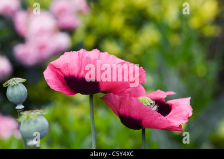 Papaver somniferum. Pink poppies in an English garden. - Stock Photo