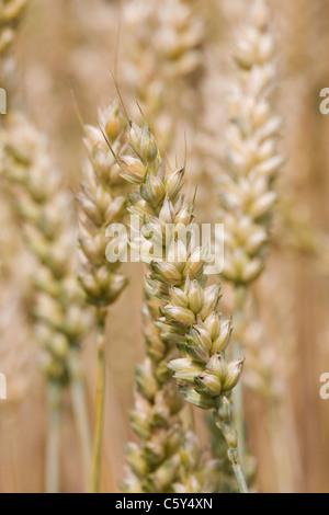 Triticum aestivum . Bread Wheat ripening in a field - Stock Photo