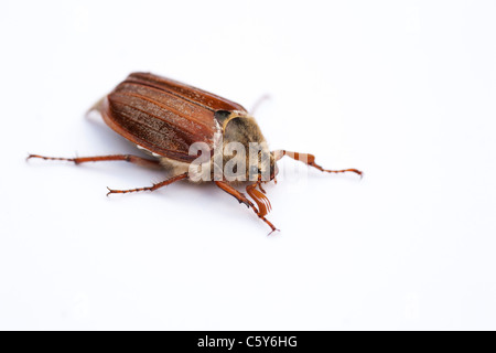 'Melolontha melolontha'. Cockchafer Beetle on white background - Stock Photo
