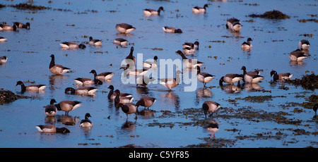 Brent Goose (Branta bernicla), flock feeding on coastal estuary. Iceland. - Stock Photo