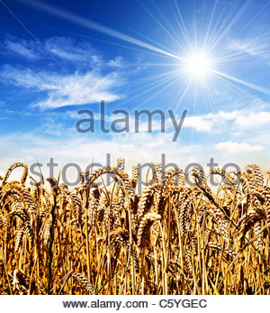 sunshine cornfield - Stock Photo