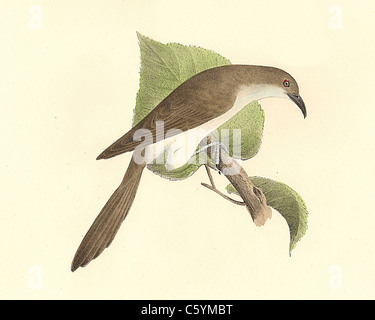 The Black-billed Cuckoo (Coccyzus erythrophthalmus) vintage bird lithograph - James De Kay, Zoology of New York, - Stock Photo