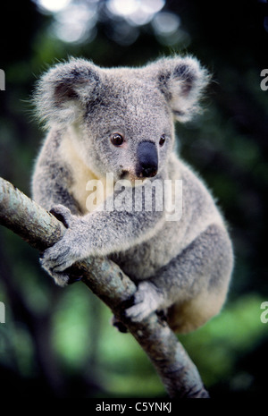 The big soulful eyes of a koala stare at visitors in the Lone Pine Koala Sanctuary in Brisbane, Queensland, Australia. - Stock Photo