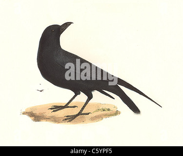 The Raven, Common Raven, Northern Raven (Corvus corax) vintage bird lithograph - James De Kay, Zoology of New York, - Stock Photo