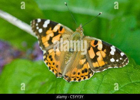 Painted Lady butterfly Cynthia cardui resting on leaf. - Stock Photo