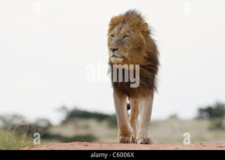 Male lion (leo panthera) at the Addo Elephant Park in South Africa. - Stock Photo