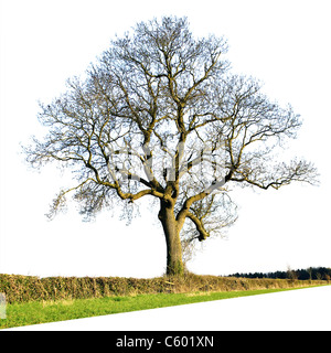 Large bare oak tree isolated against a plain white background - Stock Photo