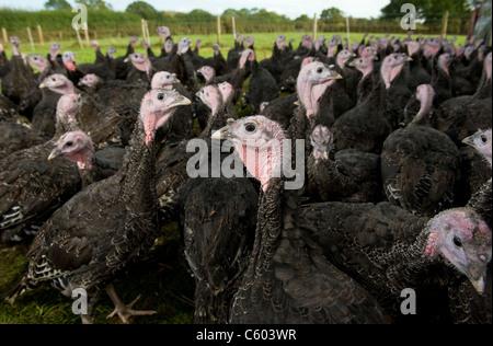 Barn reared Turkeys roaming free range on a farm in Warwickshire, England, UK - Stock Photo