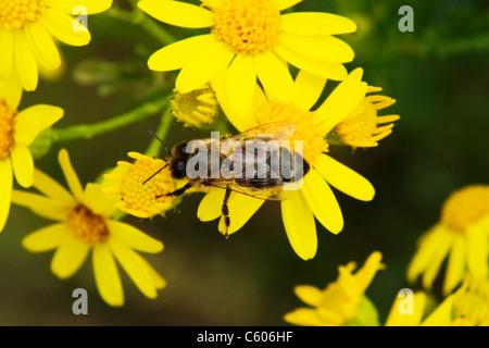 London Parliament Hill , Hampstead Heath , honeybee or honey bee or drone or Apis Mellifera on yellow wild daisies - Stock Photo