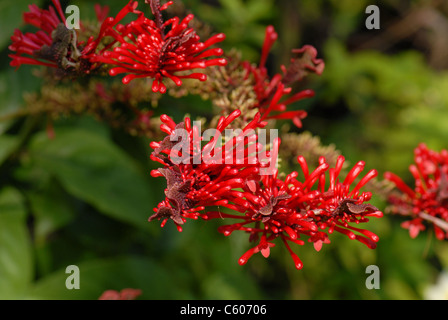 Chilean Fire Tree, Embothrium coccineum, aka Chilean Flame Thrower & Chilean Firebush. - Stock Photo
