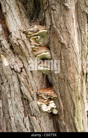 London Parliament Hill Hampstead Heath dead tree trunk detail with fungus fungi Mossy cap polypore or Oxyporus populinus - Stock Photo