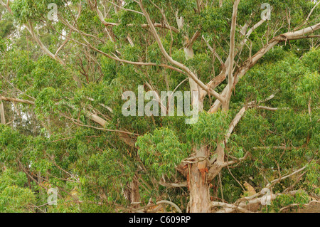 Tasmanian blue gum (Eucalyptus globulus) - Stock Photo