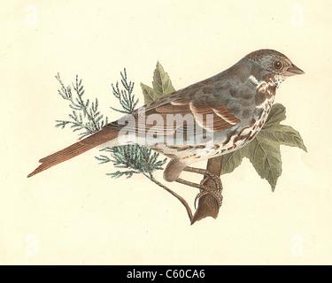 The Fox-colored Sparrow or Red Fox Sparrow (Fringilla iliaca, Passerella iliaca) vintage bird lithograph - James - Stock Photo