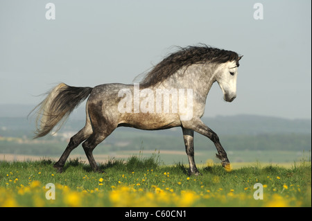 Andalusian Horse (Equus ferus caballus). Dapple-gray stallion in a gallop on a meadow. - Stock Photo