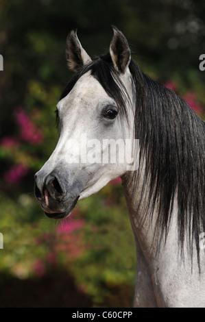 Purebred Arabian Horse (Equus ferus caballus), portrait of a gray mare. - Stock Photo