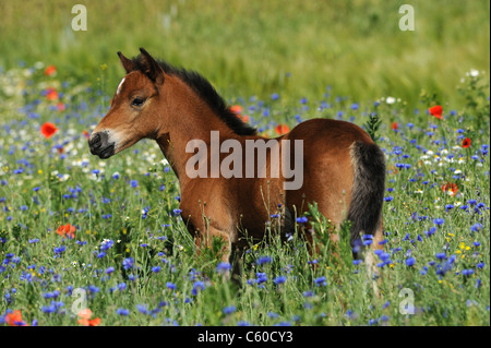 German Riding Pony (Equus ferus caballus). Foal standing among flowering poppies and cornflowers. - Stock Photo