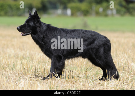German Shepherd Dog, Alsatian (Canis lupus familiaris). Black male standing on a stubble field. - Stock Photo