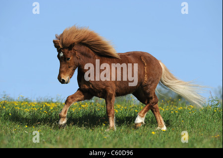 Icelandic Horse (Equus ferus caballus) in a trot on a meadow. - Stock Photo