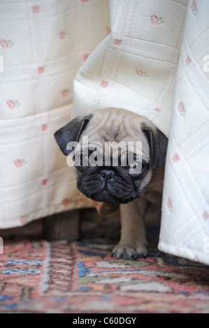 Pug (Canis lupus familiaris). Puppy looking out from under a bed. - Stock Photo