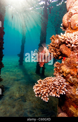 Lionfish around the encrusted legs of a hotel jetty with the surface and sunbeams in the background - Stock Photo