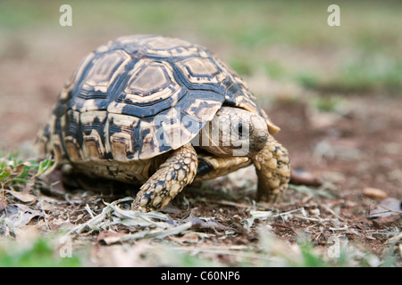 Leopard (Mountain) Tortoise, Geochelone pardalis, Kruger National Park, South Africa - Stock Photo