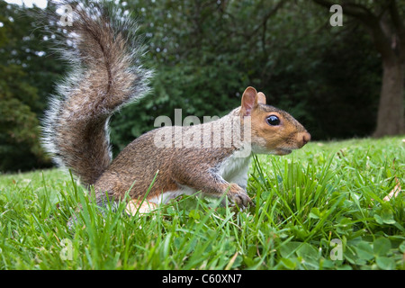 Grey squirrel, Sciurus carolinensis, in city park, Brandon Park, Bristol, UK - Stock Photo