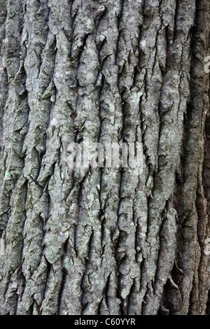 Bark of a old Bigtooth Aspen - (Populus grandidentata) along the Attitash Trail in Bartlett, New Hampshire USA - Stock Photo