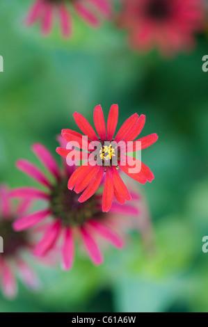 Zinnia tenuifolia. Zinna 'Red Spider' flower - Stock Photo