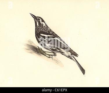 The Varied Creeping Warbler, Black-and-White Warbler (Mniotilta varia) vintage bird lithograph, James De Kay, Zoology - Stock Photo