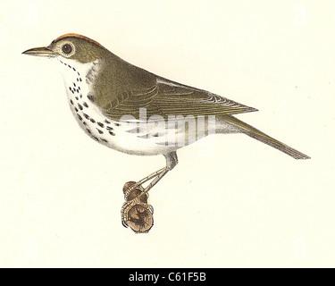 The Oven-bird, Ovenbird (Seiurus aurocapillus, Seiurus aurocapilla) vintage bird lithograph - James De Kay, Zoology - Stock Photo