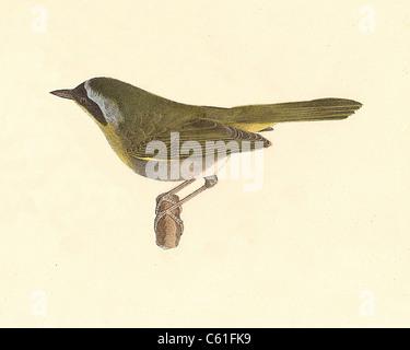 The Yellow-throat, Common Yellowthroat (Trichas marilandica, Geothlypis trichas) vintage bird lithograph - James - Stock Photo