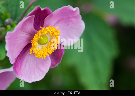 Anemone hupehensis 'Hadspen Abundance'. Japanese anemone flower - Stock Photo