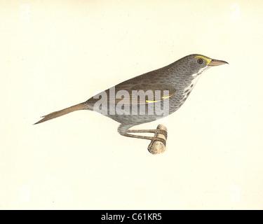 The Seaside Finch, Seaside Sparrow (Ammodramus maritimus, Ammospiza maritima) vintage bird lithograph, James De - Stock Photo