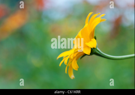 Heliopsis helianthoides var. scabra 'Sommersonne' . North American ox-eye daisy 'Sommersonne' - Stock Photo