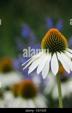 Echinacea purpurea 'white swan' coneflower - Stock Photo