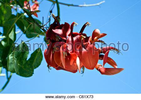 Erythrina crista-galli, cockspur coral tree. - Stock Photo