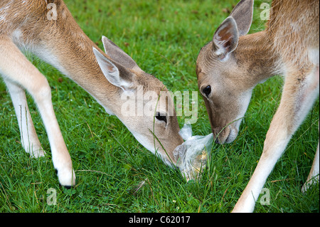 Fallow Deer, Female, UK (Dama dama) eating plastic bag - Stock Photo
