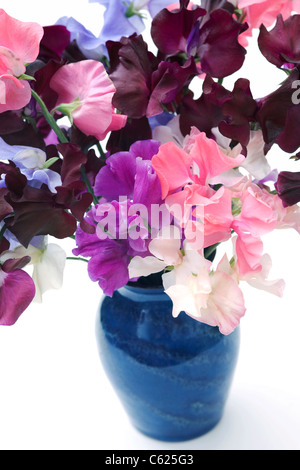 Lathyrus odoratus. Sweet pea flowers in a blue vase with a white background. - Stock Photo