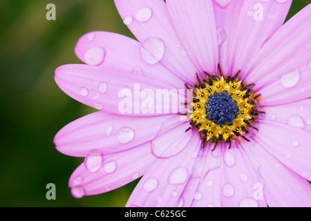 Raindrops on Osteospermum jucundum 'Killerton Pink' flower. Cape daisy. African daisy - Stock Photo
