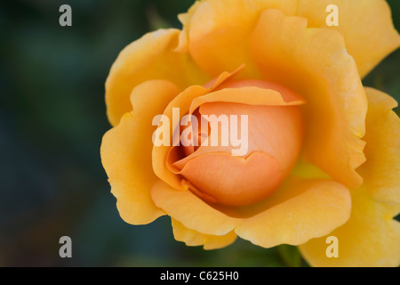 Rosa Golden Beauty 'Korberbeni'. Deep yellow rose - Stock Photo
