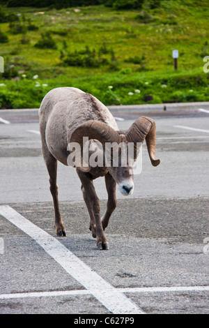 Bighorn Sheep, Ovis canadensis, at the Visitor's Center at Logan Pass in Glacier National Park in Montana. - Stock Photo