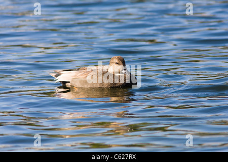 Blue-winged Teal Duck, Anas discors, (female) at Hermann Park Lake - Stock Photo