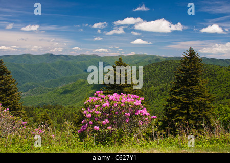 Catawba Rhododendron, Rhododendron catawbiense, along the Blue Ridge Parkway in North Carolina. - Stock Photo
