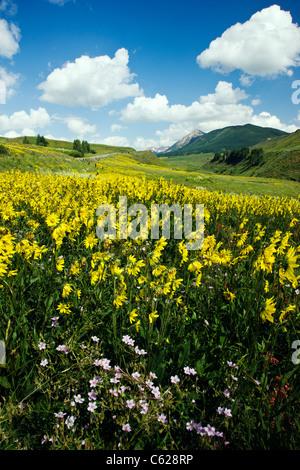 Wild Pink Phlox and Aspen Sunflowers grow along Washington Gulch, Snodgrass Mountain beyond, near Crested Butte, - Stock Photo
