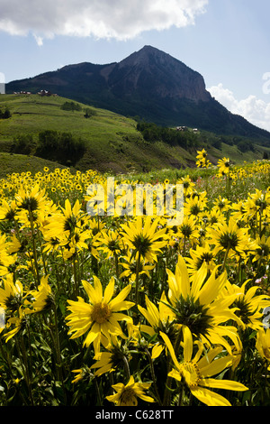 Aspen Sunflowers with Mount Crested Butte (12,162') beyond, near Crested Butte, Colorado, USA - Stock Photo