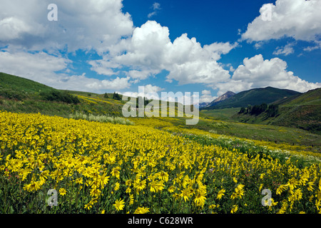Aspen Sunflowers grow along Washington Gulch, Snodgrass Mountain beyond, near Crested Butte, Colorado, USA - Stock Photo