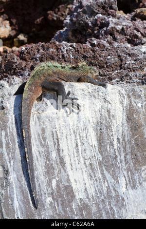 Large male marine iguana sun-baking on rocks, Elizabeth Bay, Isabella Island, Galapagos - Stock Photo
