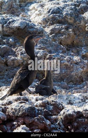 Galapagos flightless cormorant with three chicks, Elizabeth Bay, Isabella Island, Galapagos - Stock Photo
